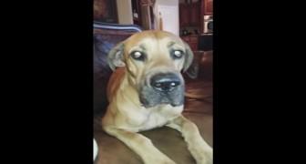 Un sandwich a disparu: il demande des explications au chien et la réponse est hilarante!