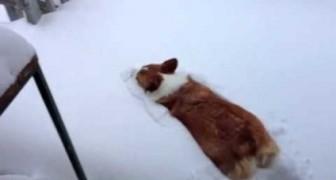 Un cane corgi salta nella neve... ma il risultato non è leggiadro come vorrebbe