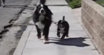 Een Berner Sennenhond maakt zich klaar om een pup uit te laten: hilarisch!