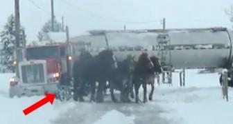 4 chevaux énormes sont en file devant un camion: leur force vous surprendra
