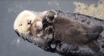 Mamma lontra si rifugia in una fontana per proteggere il piccolo: i passanti li adorano!