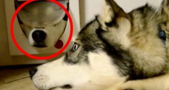 2 husky's zijn 'in gesprek' via een kattenluikje: hun gesprek ik hilarisch!