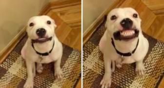 Un pit bull in attesa di adozione sfodera un sorriso a cui NESSUNO può resistere
