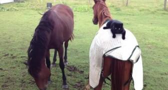 Deux chevaux se font des câlins, mais regardez le chat...