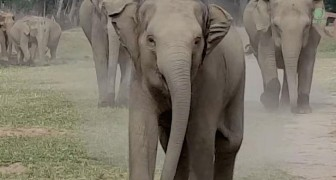 These Elephants meet the man who takes care of them, their reaction is indescribable !