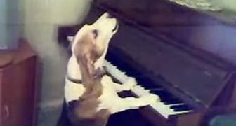 Een hond heeft plaatsgenomen achter de piano: dit had je vast niet verwacht