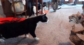 Il gatto si avvicina ad una lince finta ... Poi all'improvviso succede il panico!