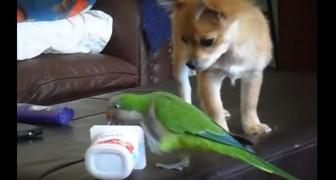 Il pappagallo e il cane si contendono un dolce trofeo... Chi l'avrà vinta?