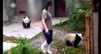 A small female panda sees her friend go away: what she does next is hilarious!