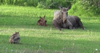 Een nieuwsgierige kat nadert een mama eland... al snel wordt de kat 'gedwongen' om zijn nieuwsgierigheid te bedwingen