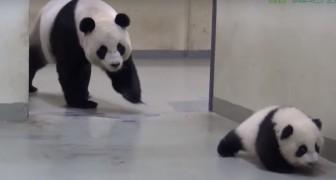 L'amore con cui mamma panda richiama il cucciolo per il pisolino è commovente