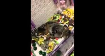 Een kat wandelt de dierenwinkel binnen en... kan de verleiding niet weerstaan!