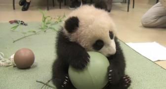 Deze kleine panda moet worden onderzocht: hier zie je hoe ze hem afleiden... zo schattig!