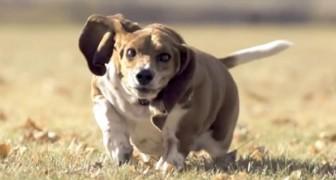 La spettacolare corsa di uno basset-hound... vista in slow-motion
