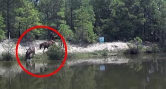 Een paard is aan het baden in de rivier, maar als er andere paarden bijkomen is het spektakel pas compleet