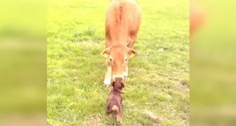 Deze koe heeft nog nooit een hond gezien van dichtbij: het is liefde op het eerste gezicht!