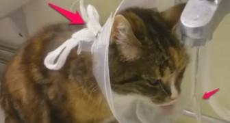 Deze kat is herstellende en moet een kap dragen, maar weet hier een POSITIEVE draai aan de te geven. Geweldig!