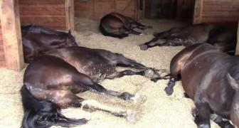 Als ze de stal binnenloopt, liggen haar paarden op de grond: het ziet er zorgwekkend uit, maar dan...