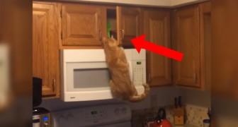 Er ligt iets verborgen boven de magnetron... maar deze lenige kat weet daar wel raad mee!