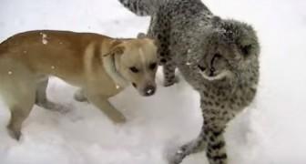 Ciò che fanno un ghepardo e un labrador nella neve ti stamperà un sorriso sulle labbra