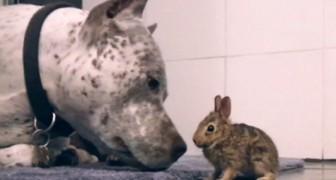 Het konijn is naar binnen gehaald vanwege een hevige storm. De pitbull lijkt hier erg mee in zijn nopjes te zijn...