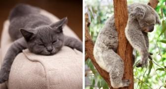 Slaapkampioenen: kijk toch eens hoe die grootste luiwammesen van het dierenrijk liggen te slapen