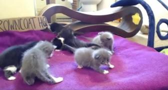 Mamma gatto mostra ai piccoli come giocare, ma non sembra vogliano ascoltarla...