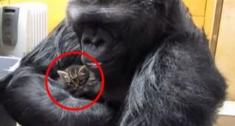 En gorilla tar en kattunge i sin armar....den som händer sedan är ofattbart