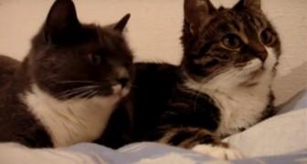 Deze katten worden gefilmd terwijl ze in 'discussie' met elkaar zijn... hier zie je hun hele gesprek