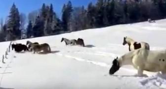 Après avoir libéré les chevaux de la neige, ils assistent à un superbe spectacle