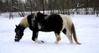 Ze laten hun paard spelen in de sneeuw... het dier voelt zich onmiddellijk weer een veulen!