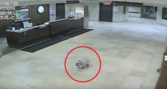 Un cane riesce inspiegabilmente a raggiungere l'ospedale in cui la padrona è ricoverata