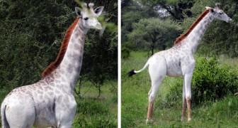 Moeder natuur speelt met kleuren: in Tanzania is een zeer zeldzame WITTE giraf ontdekt