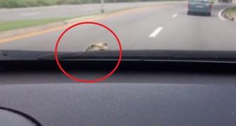 Una donna sta guidando la macchina, ma arriva una sorpresa che la farà urlare