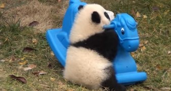 Een babypanda krijgt een nieuw speeltje... en hij is er dol op!