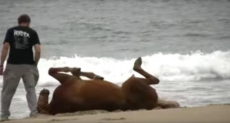 Horses run free on a sandy seashore, but look what happens when a man approaches them....