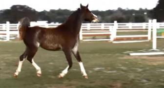 Dieses Pferd träumt davon, eine Ballerina zu werden. Seine Bewegungen sind wundervoll