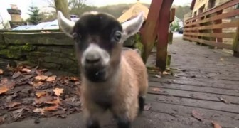 Una capra ha abbandonato uno dei suoi due cuccioli... Ma guardate chi lo ha adottato