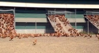 A free-range chicken farm in New Zealand: what happens every morning is amazing!