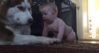 Deze baby probeert te spelen met de husky... de reactie van de hond is geweldig!