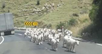 Un gregge di migliaia di pecore invade la strada... Gli automobilisti sono senza parole