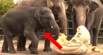 3 elefanti si avvicinano a delle zucche, ma ciò che fa il più piccolo è esilarante!