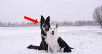 Two dogs pose for a photograph ... The black one will make it unforgettable!