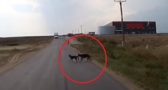 A car almost hits two dogs crossing a road! What one of the dogs does is staggering!