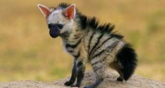 Metà volpe, metà iena: ecco a voi un raro mammifero di cui vi innamorerete