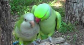 Il modo in cui questo pappagallo chiede un bacio alla sua compagna è formidabile