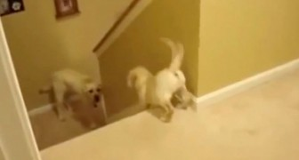 Daddy dog gently helps his puppy down the stairs; but when you see what the cat does....you will die laughing!