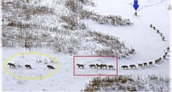 Cette photo de loups a été largement critiquée, mais sa signification est une grande leçon pour tous
