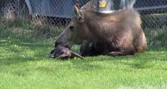 They film a moose giving birth to twins: this first-hand spectacle of nature is very touching!