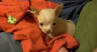 Questo chihuahua trova il suo primo migliore amico. Ma non è quello che ti aspetti